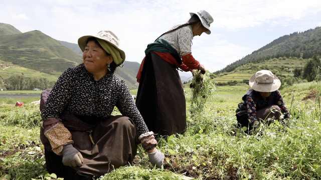 不种青稞种药草,村民收入翻了10倍