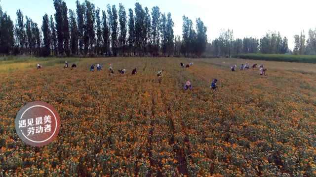 2000干部下乡,帮村民采摘万亩红花