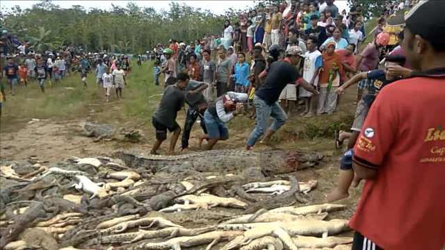 村民被鳄鱼咬死,他们杀三百只复仇