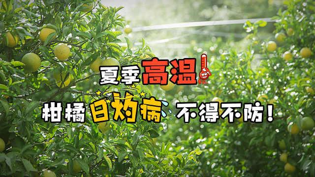 夏季高温日灼,种植柑橘要小心了