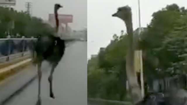鸵鸟雨中马路狂奔,市民惊呼头回见