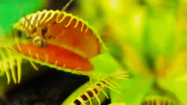 科普!食肉植物是怎么吃到飞虫的?