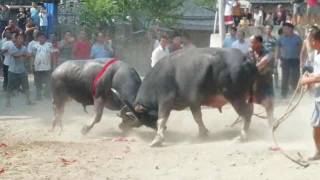 8头牛代全村出战,30户居民轮流供养
