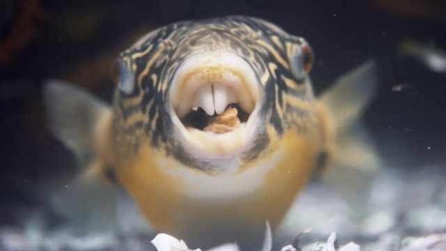 河豚鱼原来喜啃蜗牛、蛤蛎:嘎嘣响