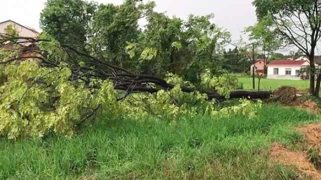 突刮大风,30年大树顷刻间被吹倒