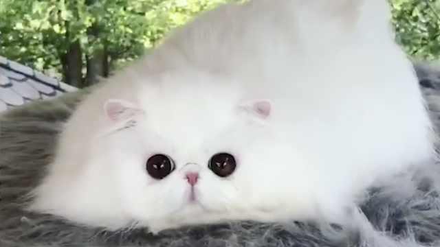 一只快融化的波斯猫,请注意签收!
