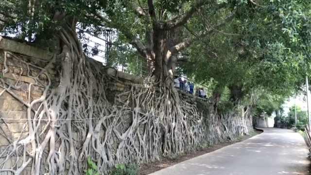 17棵榕树扎根城墙生长,树根如瀑布