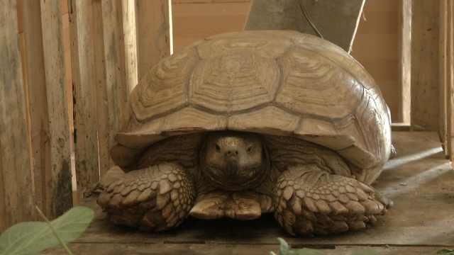 大爷田里抓住非洲龟,家中成网红地