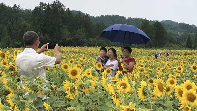 百亩向日葵山顶绽放,村民靠它致富