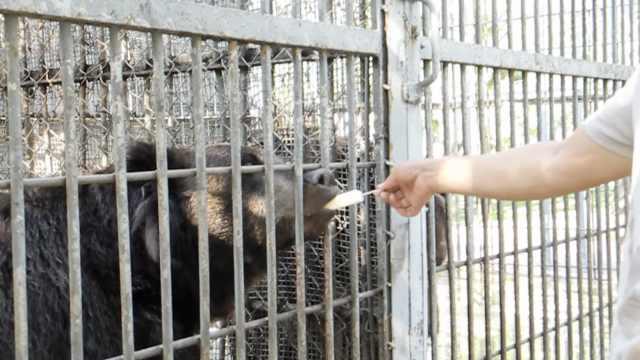 动物避暑也是拼了,棕熊1口1根冰棍