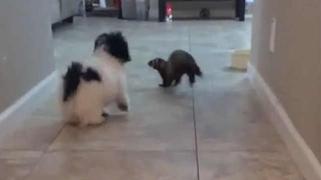 雪貂和小狗子第一次见面会打起来吗