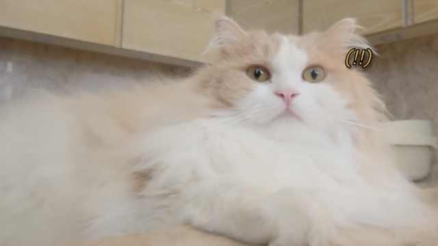 如何让猫咪失去理智?一个罐头就够