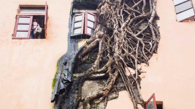 穿墙破窗!榕树穿透居民楼生长50年