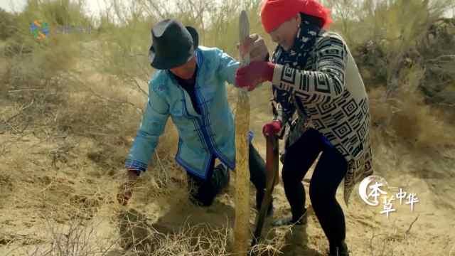 父母沙漠挖草药,供儿子上大学