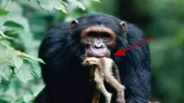 黑猩猩抓到小猴子会吃掉么?