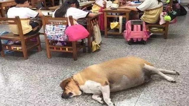 校犬被养成牛,校方下令禁止投喂…