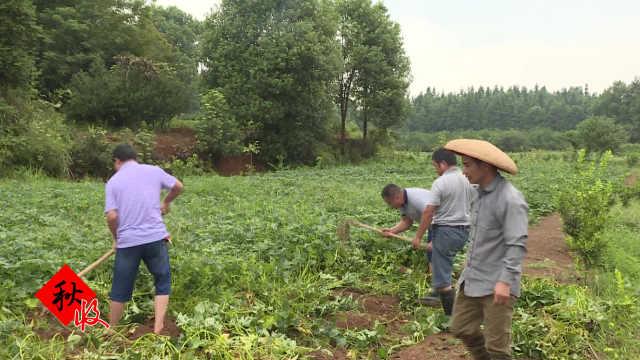农户20亩地种红薯,不愁销路收入高