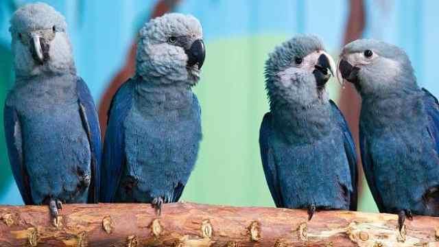 《里约大冒险》主角蓝鹦鹉已灭绝