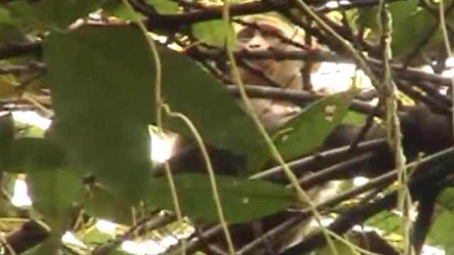 猴哥闹市出没蹲树梢,被救浑身颤抖