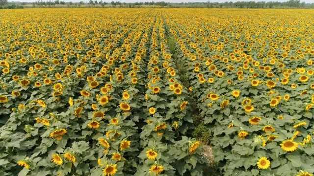 2500亩向日葵盛开,如金色田园画卷