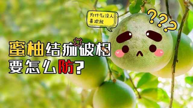 蜜柚结痂破相是怎么回事?如何防治
