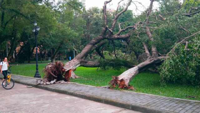 台风刮倒大树,小学生感慨:根基要稳