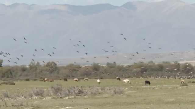 大草原迎万只灰鹤,游客低语怕惊扰
