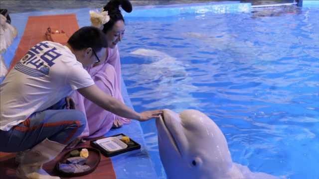 中秋节,蠢萌白鲸吃特制鱼月饼过节