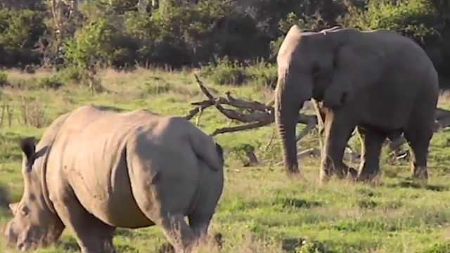 犀牛和大象打架,到底谁能赢?