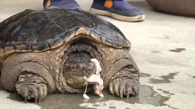 村民抓18斤大龟,专家建议杀了吃掉