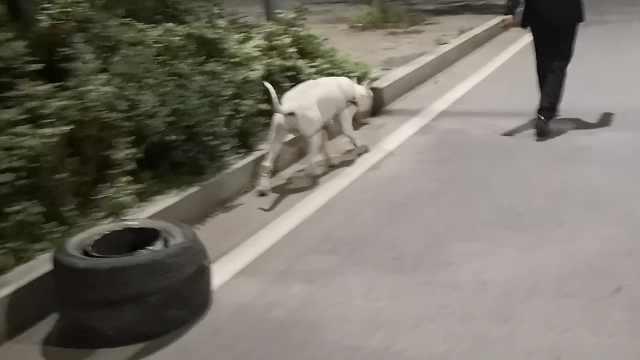 狗也不容易!10月大狗负重30斤训练