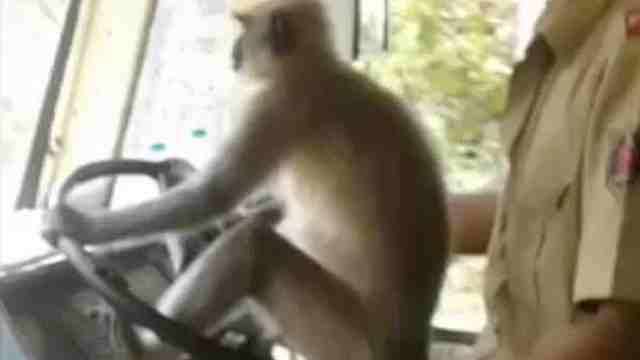 印度公交车司机让猴子开车,被停职