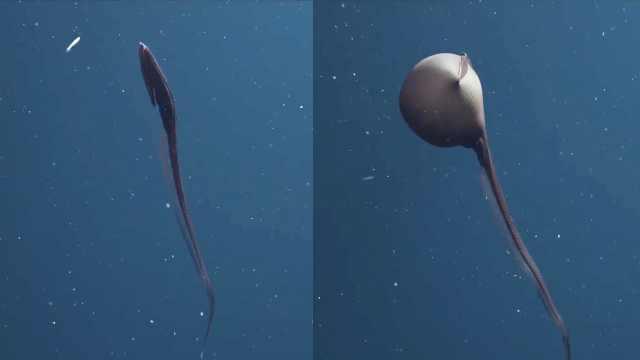 神奇的物种!鳗鱼头像气球一样膨胀
