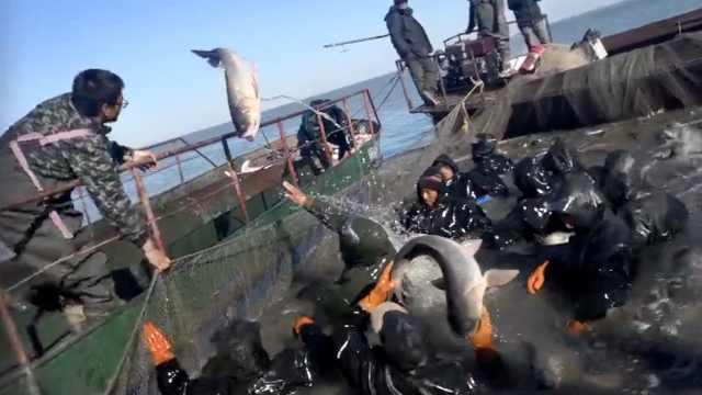 查干湖秋捕,一天一网可捕50万斤鱼