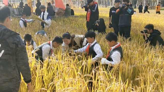 校园种21公顷水稻,师生下田收稻谷