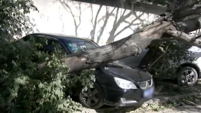 大风刮倒枯树砸车,路人吓坏:险被砸
