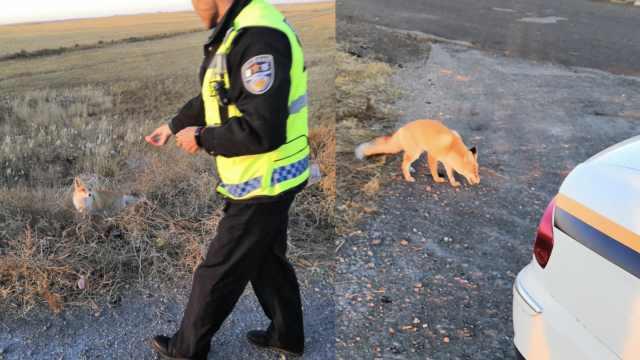 吃货小狐狸不怕人,还向交警