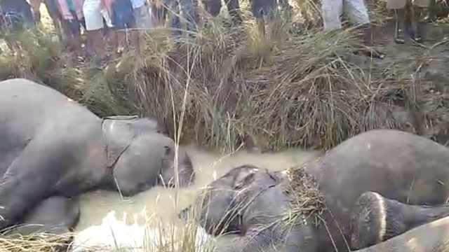 7头大象触电死亡,尸体填满沟渠