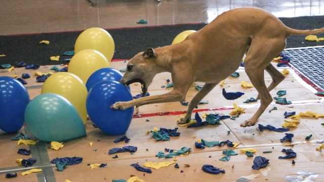 汪界的吉尼斯:戳破百个气球用28秒