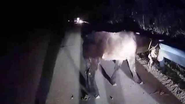 马匹掉落高速公路  民警帮助找回