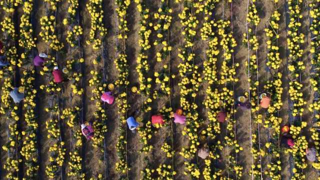 女生毕业种千亩菊花,带动村民致富