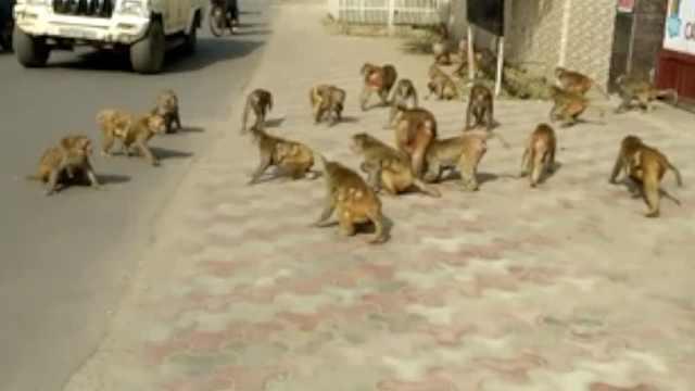 猴子掳走刚出生婴儿,发现时已死亡