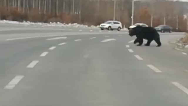 大黑熊路上溜达,司机吓傻:别过来