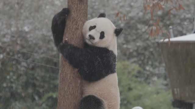 熊猫贝贝雪地撒欢,萌化美国网友