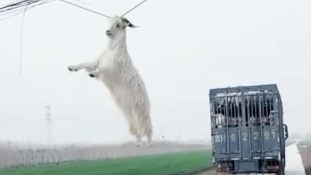 超无助!货车经过,羊被挂电线荡秋千
