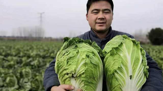 菜农30万斤白菜滞销,1元1棵卖不掉