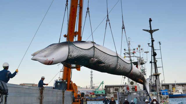 日本拟退出捕鲸协会,重启商业捕鲸