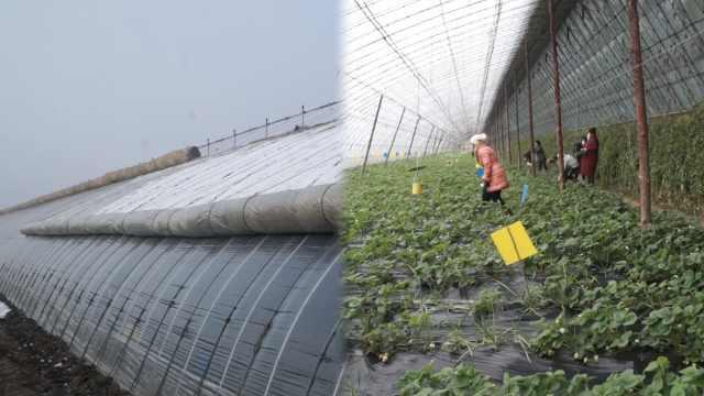 东北大棚盖厚被子,市民雪天摘草莓