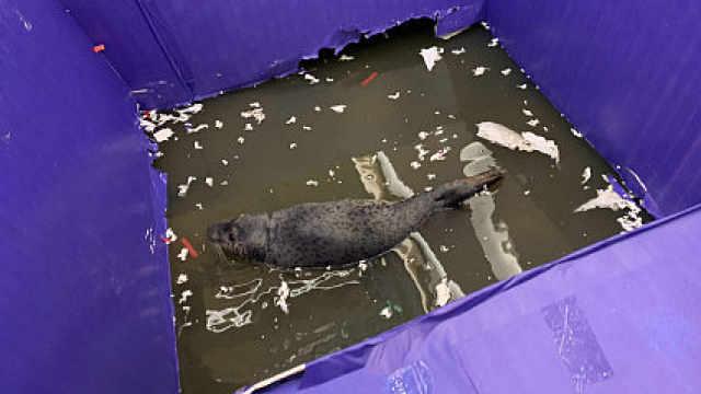 海豹污水池表演:在排泄物里躺三天