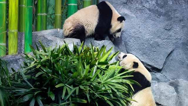 大熊猫令加拿大动物园刷新访客纪录